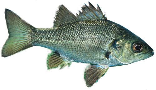 Bass - Australian