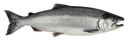 Salmon - Coho