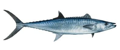 Mackerel - King