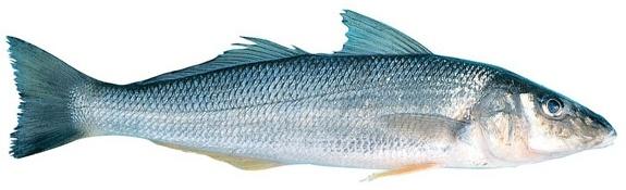 Whiting - Yellowfin