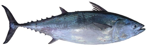 Tuna - Mackerel
