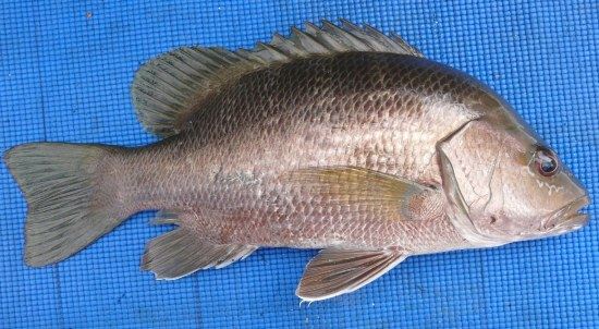 Bass - Papuan Black