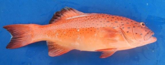 Coral Trout - Inshore