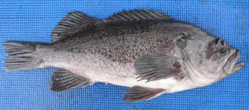 Rockfish - Black