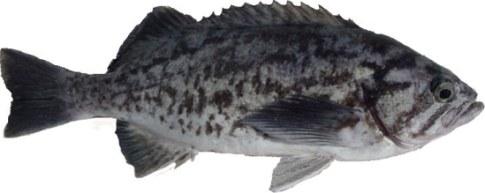 Rockfish - Blue