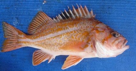 Rockfish - Canary