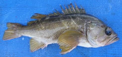 Rockfish - Yellowtailed