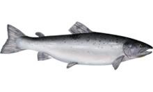 Salmon - Atlantic