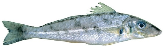 Whiting - Trumpeter