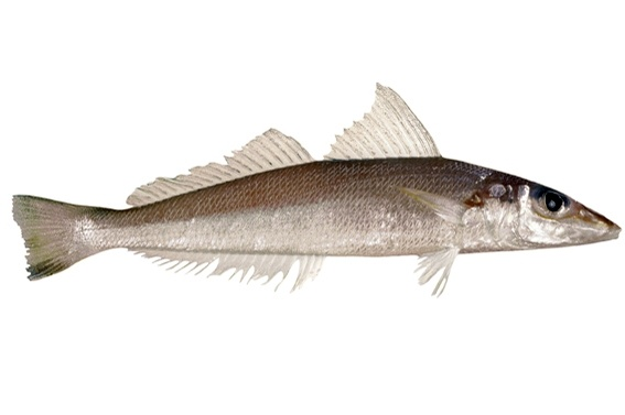 Whiting - Northern