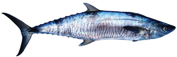 Mackerel - Spanish