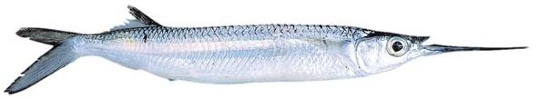 Piper - garfish