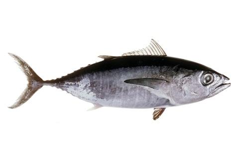 Tuna - Southern bluefin