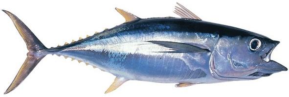 Tuna - Yellowfin
