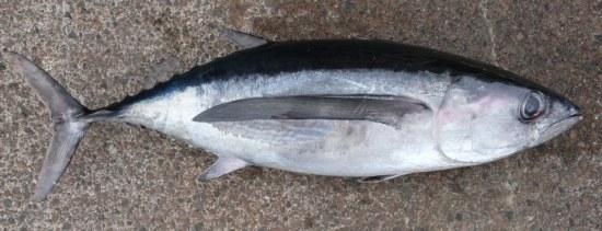 Tuna - Albacore