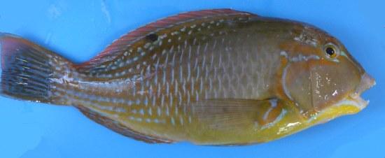 Tuskfish - Blackspot