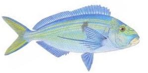 Morwong - Blue