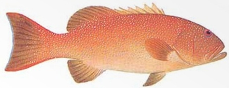 Coral Trout - Common