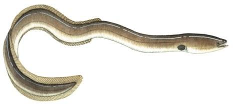 Eels - Freshwater