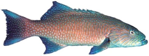 Coral Trout - Highfin