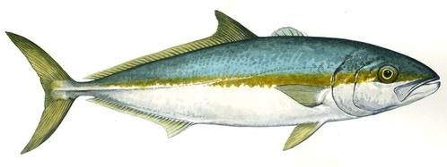 Kingfish - Yellowtail