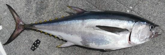 Tuna - Longtail