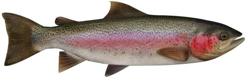 Trout - Rainbow