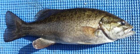 Bass - Smallmouth