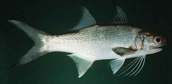 Threadfin - Striped