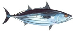 Tuna - Striped