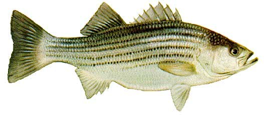 Bass - Striped