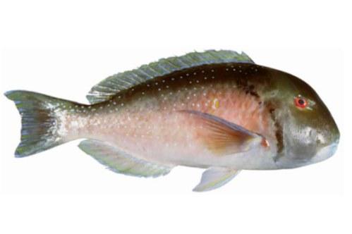 Tuskfish - Venus