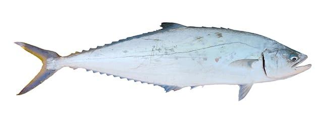 Queenfish - Lesser